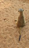 Suricate lub meerkat stoimy z powrotem widz Obraz Stock
