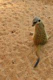 Suricate lub meerkat stoimy z powrotem widz Fotografia Royalty Free