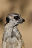Suricate or meerkat Stock Photography