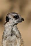 Suricate or meerkat Stock Photography