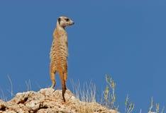 Suricate (meerkat) Stock Afbeelding