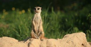 suricate meerkat Стоковое Изображение