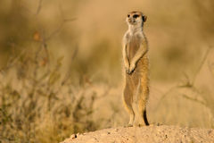 Suricate (meerkat) Royalty Free Stock Photo