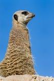 suricate meerkat Obrazy Stock