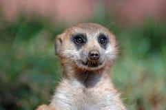 suricate meerkat Стоковые Фотографии RF