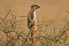 Suricate (meerkat) Stock Photography