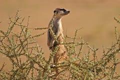 Suricate (meerkat) fotografía de archivo
