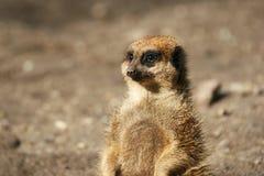 suricate meerkat Zdjęcie Stock