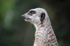 Suricate-meerkat Lizenzfreie Stockbilder