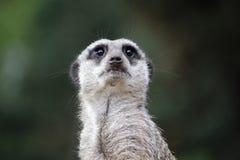 Suricate meerkat Royaltyfria Bilder