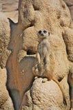 Suricate-meerkat stockbild