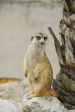 Suricate or meerkat against Stock Images