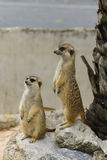 Suricate or meerkat Royalty Free Stock Photography