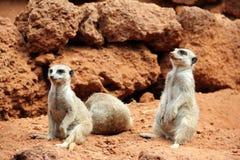 Suricate of meerkat familie. Royalty-vrije Stock Foto