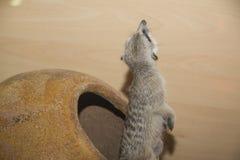 Suricate (meerkat) Familie Lizenzfreies Stockfoto
