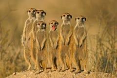 Suricate (meerkat) Familie   stockfotografie