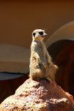Suricate or meerkat. It is on guard and looks around and patrolling the neighborhood. Royalty Free Stock Photos