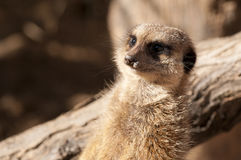 Suricate or Meerkat or Mongoose Stock Photography