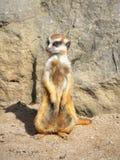 Suricate Meerkat Mongoose Stock Image