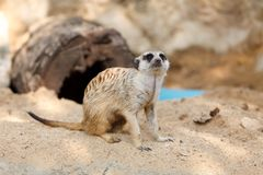 Suricate or Meerkat sitting on the sand Stock Images