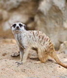 Suricate or Meerkat sitting on the sand.  Stock Photos