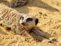 Suricate Stock Photo