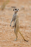 Suricate or meerkat standing in desert. Suricate or meerkat standing in Kalahari desert; Suricata suricatta stock photos
