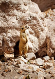 Suricate or meerkat Stock Photo