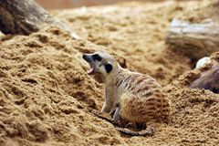 Suricate or meerkat (Suricata suricatta) Royalty Free Stock Photo