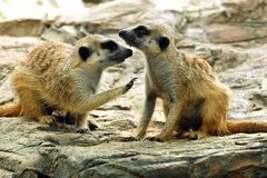 Suricate or meerkat (Suricata suricatta) Stock Photo