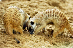 Suricate or meerkat (Suricata suricatta) Royalty Free Stock Photography