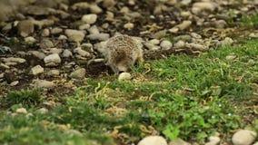 Suricate or meerkat stock video