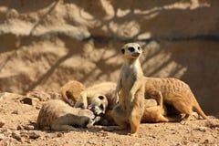 Suricate or meerkat (Suricata suricatta) family Royalty Free Stock Image