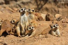 Suricate or meerkat (Suricata suricatta) family Royalty Free Stock Images