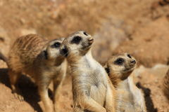 Suricate or meerkat (Suricata suricatta) family Royalty Free Stock Images