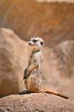 Suricate Meerkat - Suricata suricatta Stock Image