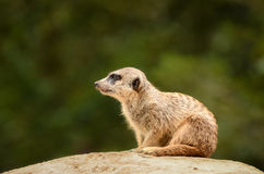 Suricate Meerkat - Suricata suricatta Stock Photo