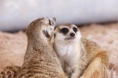 Suricate or meerkat (Suricata suricatta) Stock Image