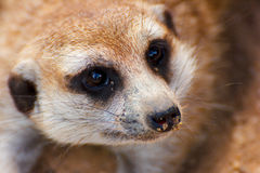 The suricate Stock Image