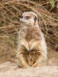 Suricate or meerkat royalty free stock images