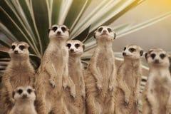Suricate or meerkat Suricata suricatta standing on guard. Royalty Free Stock Photo
