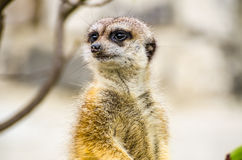 Suricate or meerkat (Suricata suricatta) Stock Photography
