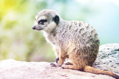 Suricate - Meerkat - Suricatta Portrait. Little Animal Sitting on Rock on Sunny Day stock photos