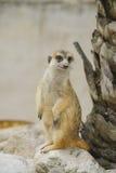 Suricate of meerkat tegen stock afbeeldingen