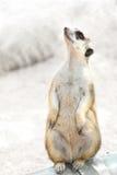 Suricate or meerkat Stock Image