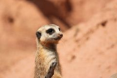 Suricate Mongoose Stock Images