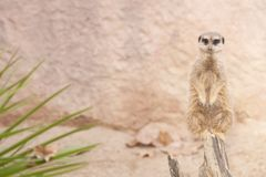 Suricate or Mongoose or Meerkat Stock Image