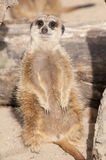 Suricate or Mongoose or Meerkat Royalty Free Stock Photos