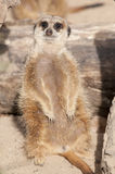 Suricate or Mongoose or Meerkat Stock Photo