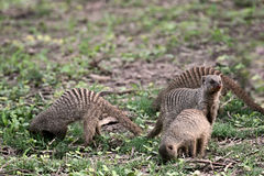 Suricate Mongooses family Stock Photos